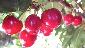 Minnie Royal Cherries